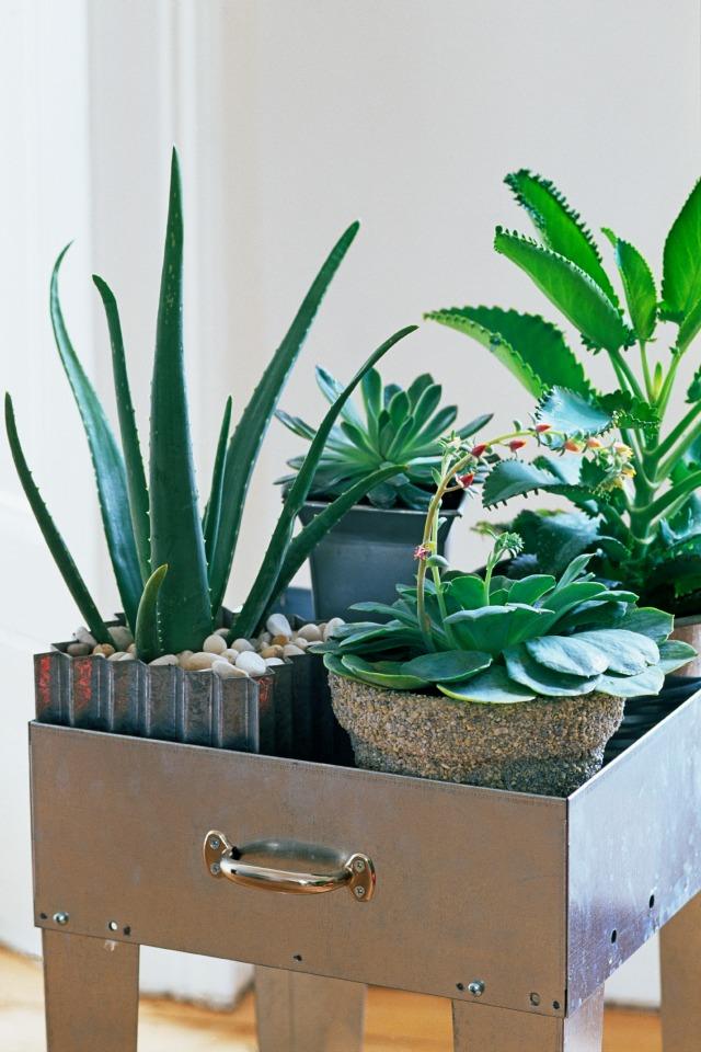 Succulent houseplants