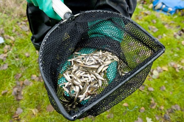 Environment Agency poison Hampshire lakes to kill invasive fish