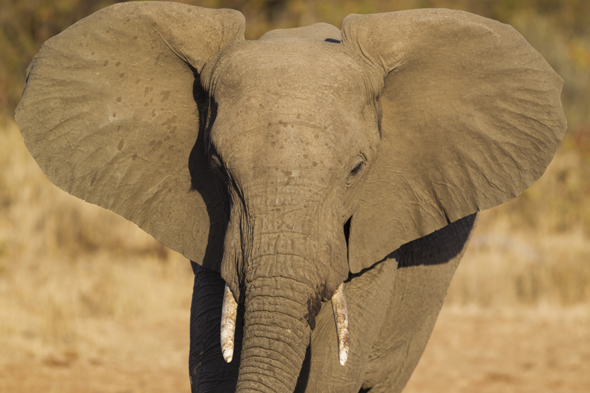 Mandatory Credit: Photo by Image Broker/REX (3483384a) African Elephant (Loxodonta africana), bull, Kruger National Park, South Africa VARIOUS