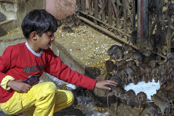 pictures-rat-temple-worship-india