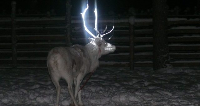 In this picture taken on Feb. 15, 2014 in Rovaniemi, Finland and provided by the Reindeer Herders' Association, a reindeer is seen with fluorescent antlers after a test in which Finnish herders dabbed it with fluorescent paint. Rudolph the reindeer is having a glittering antler makeover _ the latest attempt to halt some of the thousands of road deaths of the roaming caribou in the wilds of Finland. (AP Photo/Anne Ollila, Executive Director of the Reindeer Herders' Association, Finland/Lehtikuva) FINLAND OUT