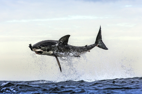 *** EXCLUSIVE ***  FALSE BAY, SOUTH AFRICA - UNDATED: A great white shark breaches the water to take a decoy seal in waters off in False Bay, South Africa.   A GREAT white shark launches itself clear out of the water to snatch a snack - a helpless seal. The dramatic shots of several sharks breaching at Seal Island, off the coast of Cape Town, South Africa, were captured by wildlife photographer Chris McLennan. Chris witnessed 28 predations in a single hour in the shark infested waters.  PHOTOGRAPH BY Chris McLennan / Barcroft Media  UK Office, London. T +44 845 370 2233 W www.barcroftmedia.com  USA Office, New York City. T +1 212 796 2458 W www.barcroftusa.com  Indian Office, Delhi. T +91 11 4053 2429 W www.barcroftindia.com