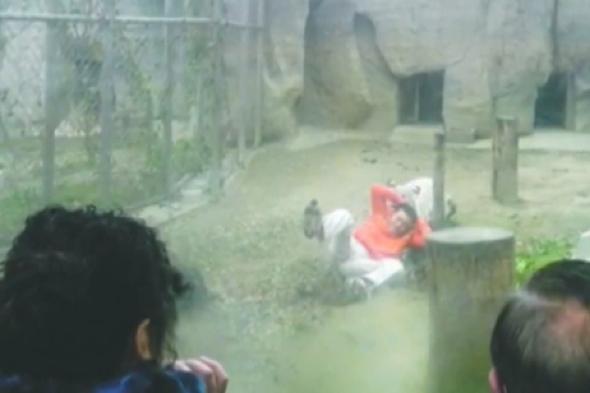 man-jumps-tiger-enclosure-tiger-zoo