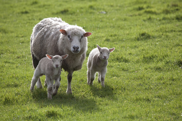 Mandatory Credit: Photo by Food and Drink/REX (3401581a) Lambs Food and Drink