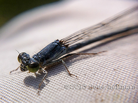 Damselfly by ilene hoffman