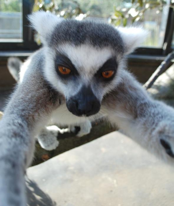 lemur-selfie-london-zoo