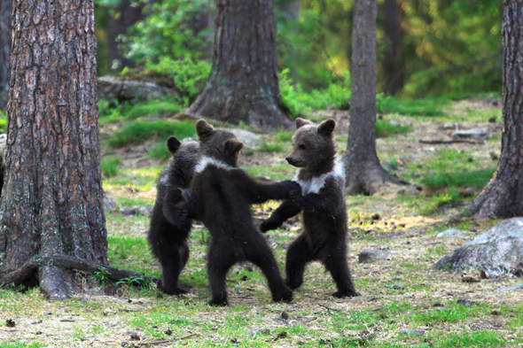 bears dance finland forest, pictures of bear cubs dancing