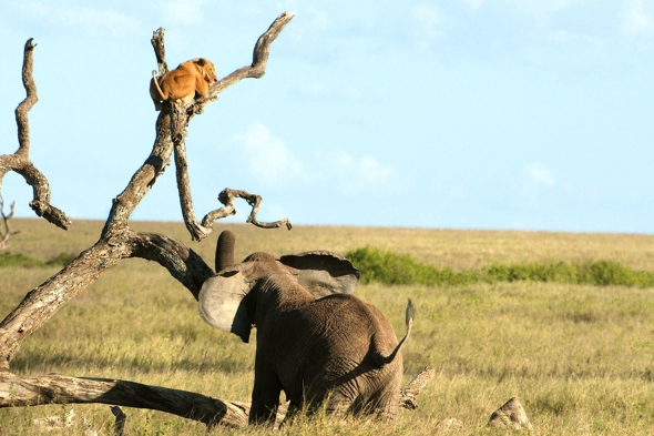 elephant-chases-lioness-up-tree-tanzania