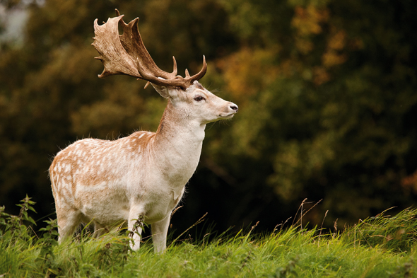 A male Fallow Deer on a wooded hillside, taken on September 6, 2011. (Photo by PhotoPlus Magazine via Getty Images)