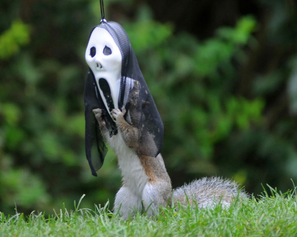 Mandatory Credit: Photo by Mike Walker/REX (3288040e) A squirrel with its head inside a Halloween mask feeder Squirrels pose with heads inside scary Halloween masks, Fareham, Hampshire, Britain - 23 Oct 2013 These grey squirrels are a scream as they go nuts for Halloween. Vicky Freeman , 55, from Fareham, Hants turns Halloween masks into feeders for squirrels and watches their hilarious antics as they try to retrieve the nuts hidden inside. Vicky said: