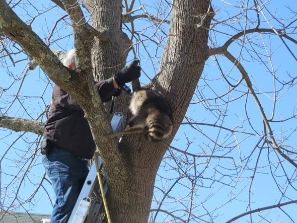 Raccoon gets head stuck in a tree