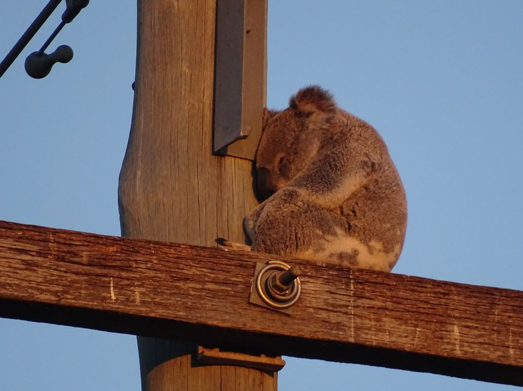 When Koalas Lose Their Forests, They End Up In The Strangest