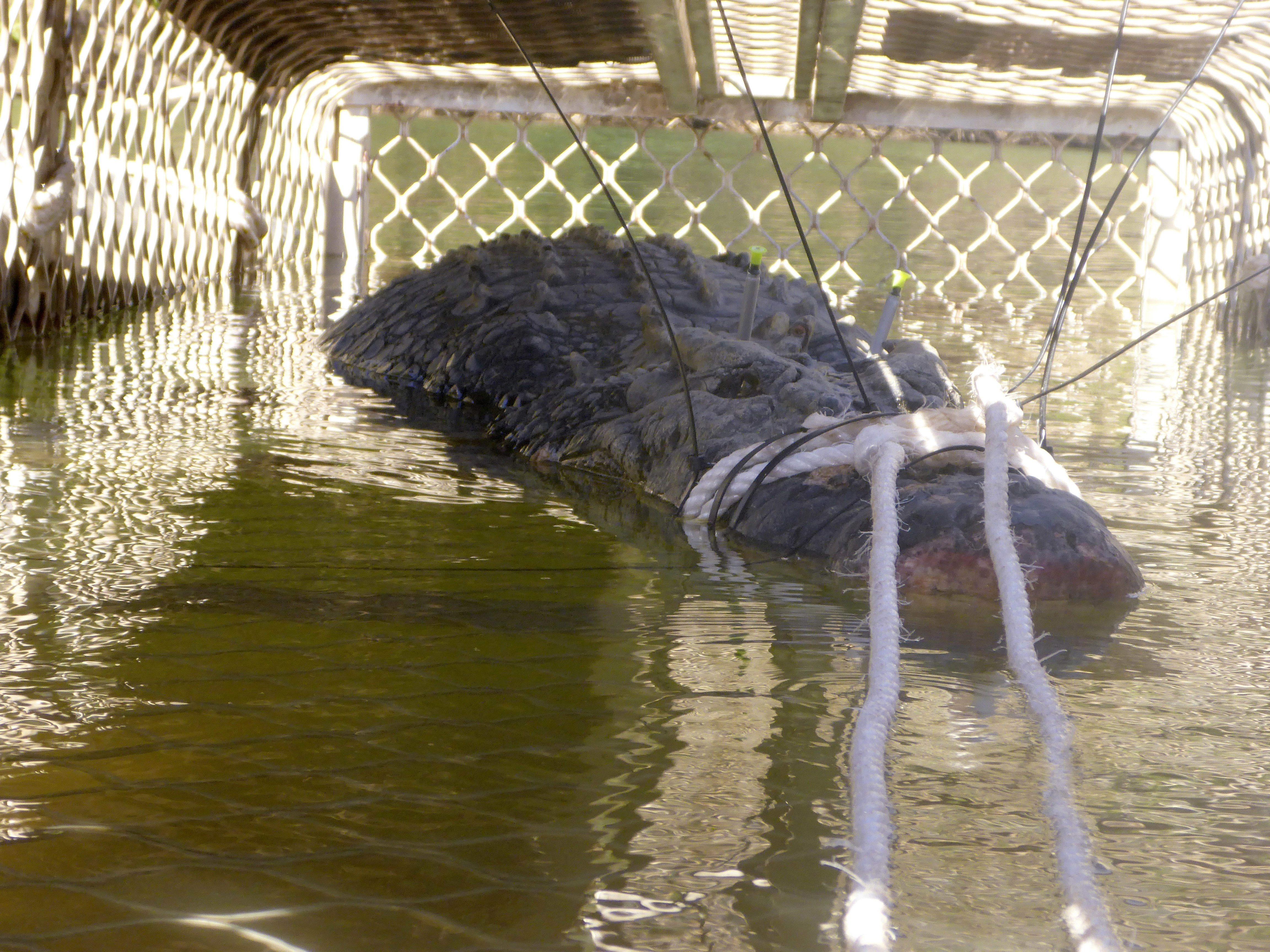 Australie: après huit ans de traque, ce géant crocodile est
