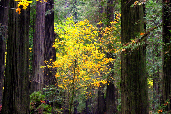 Ancient Redwoods and fall colors in Sequoia Park