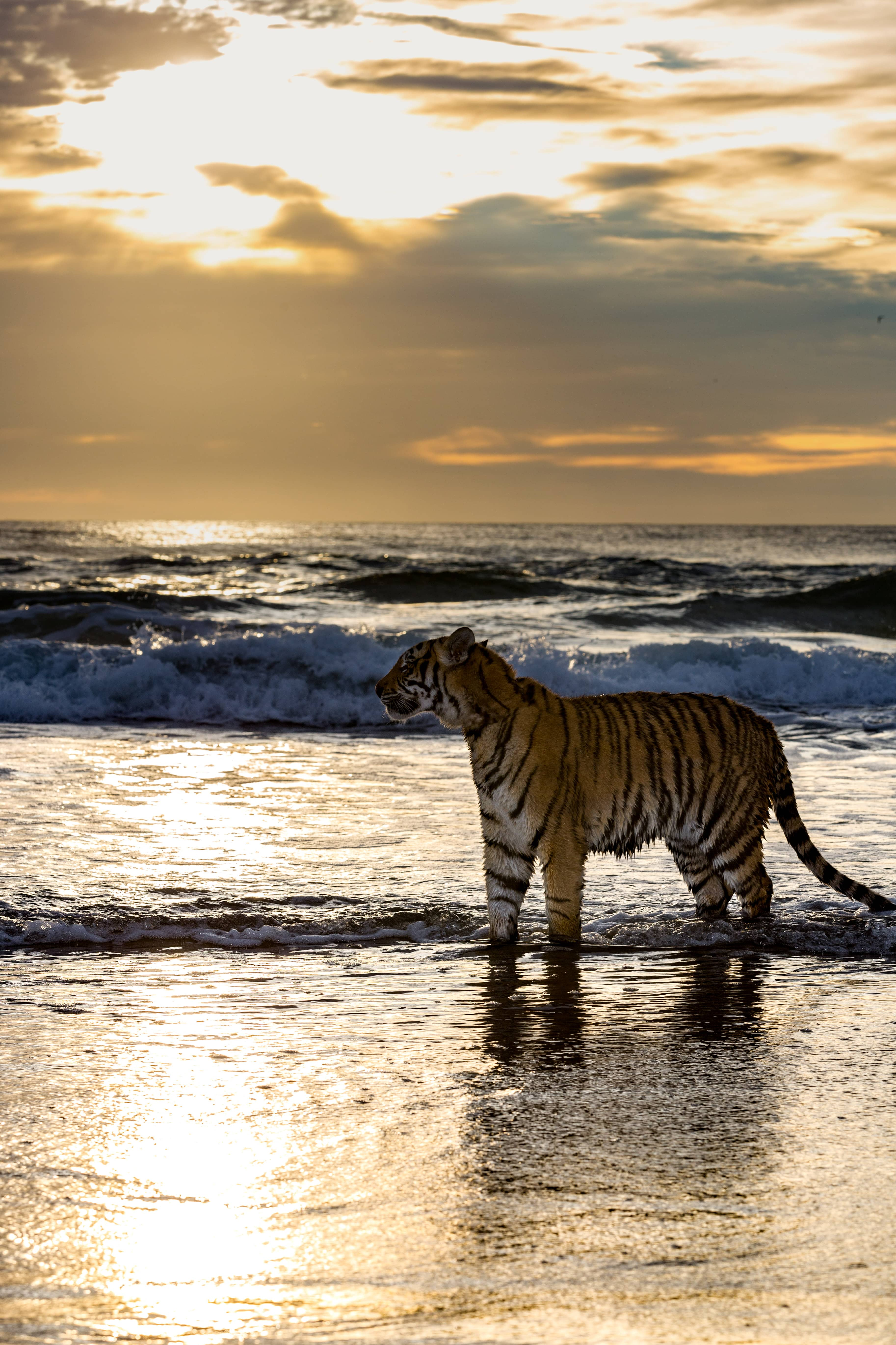 A Tiger Just Strolled Along A Beach On The Gold