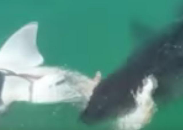shark attacks shark off California