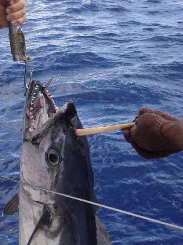 Fisherman catch 'tunicorn'  - tuna fish with horn in its head