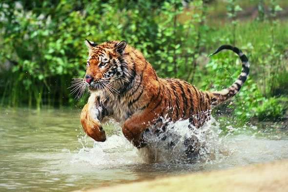 Father snatched from boat by Bengal tiger in front of children