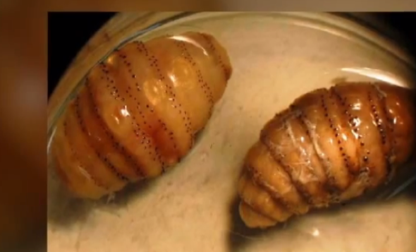 Horror as 20 live maggots found under man's skin after Africa trip