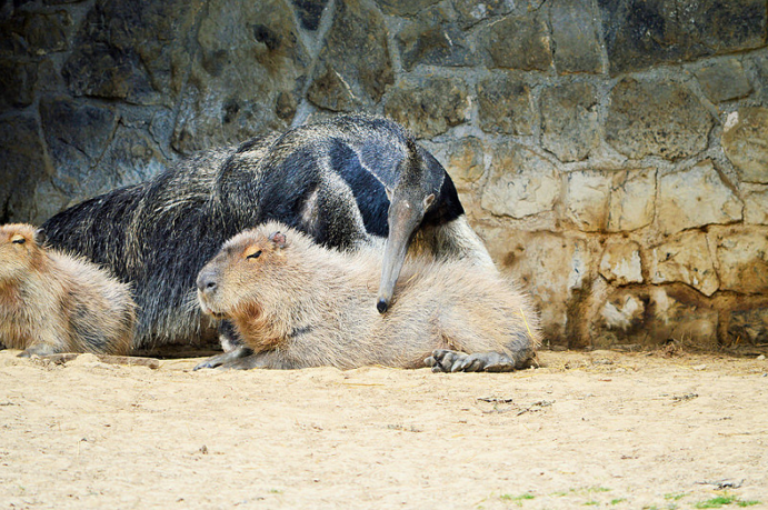 capybaras how to say it