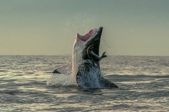 Lucky seal escapes great white shark's jaw in amazing picture
