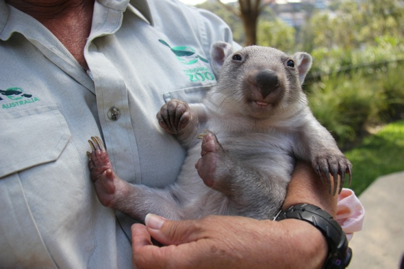 Orphaned baby wombat finds new mum