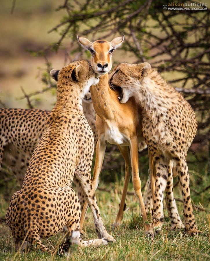 truth behind fake viral story about impala and cheetah photo