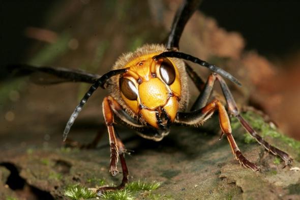 Asian giant killer hornet spotted in Scotland