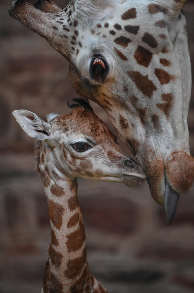 Beautiful rare Rothschild giraffe born on Boxing Day at Chester Zoo