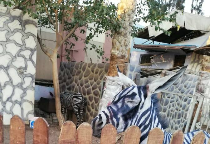 En manque de zèbres, le zoo repeint... un âne