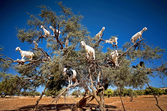 Ever seen a 'goat tree'? You have now