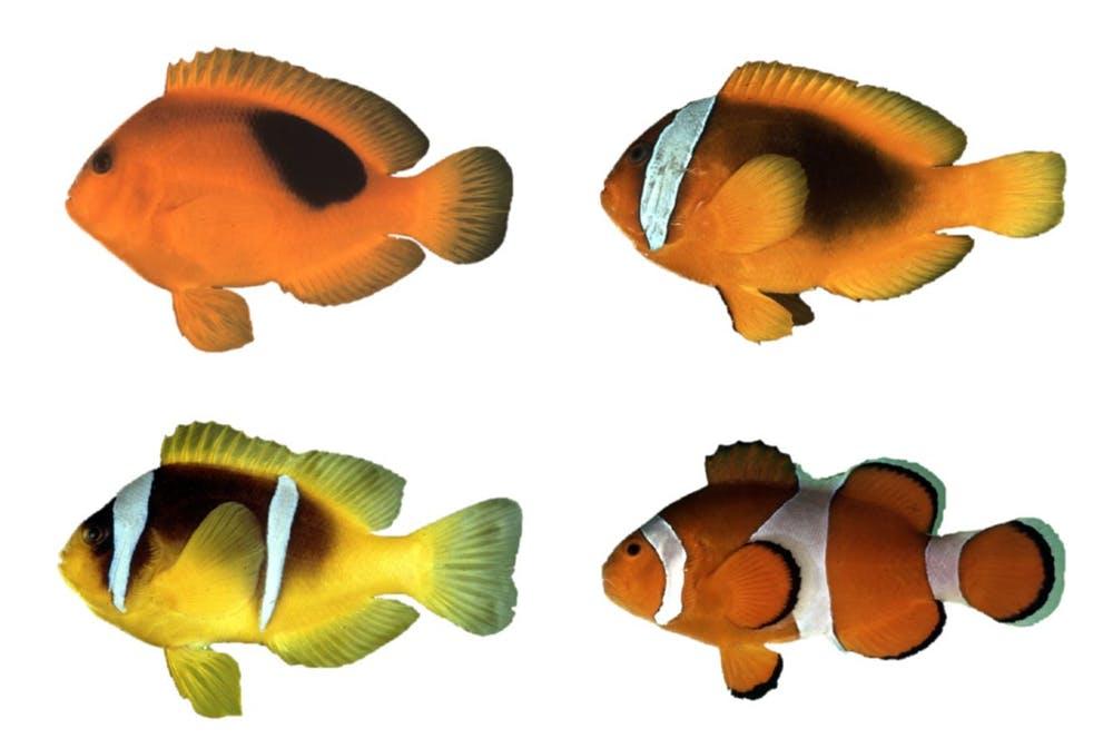 Cuatro peces payaso que ilustran los patrones de color de la especie. De arriba a abajo y de izquierda...