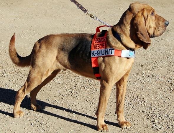 dog-bloodhound-mayor-town-colorado