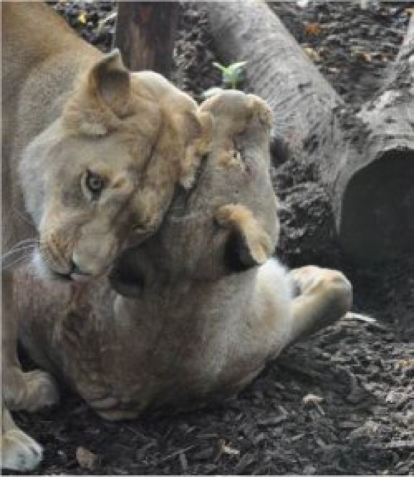 Two lions rescued from cruel circus finally heading for happiness