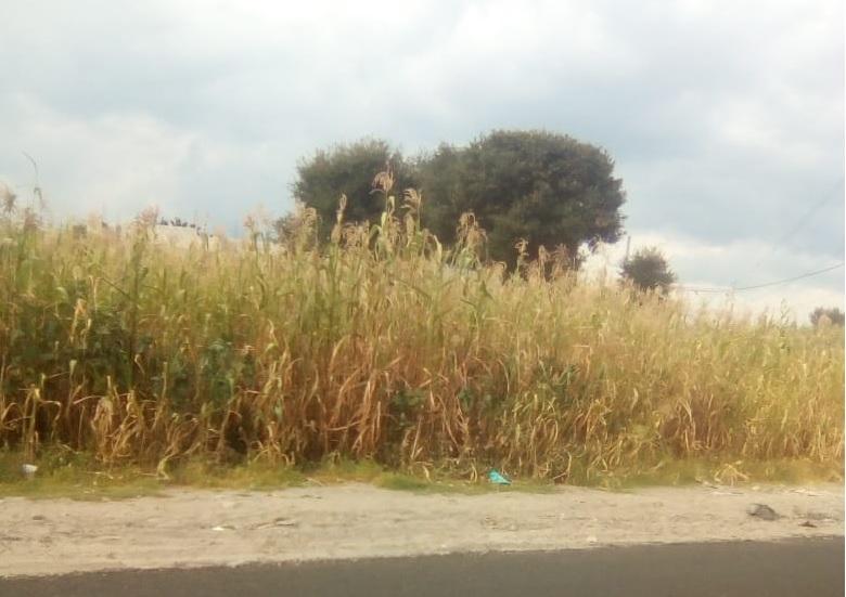 Los cultivos se están perdiendo debido a la falta de lluvia, que anula la