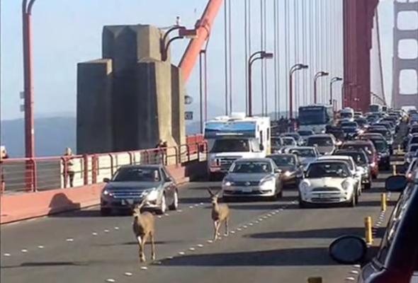 Deer traffic jam