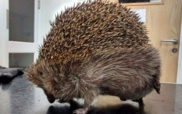 Hedgehog with balloon syndrome