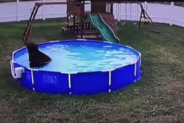 Bear cub takes a dip in family's pool