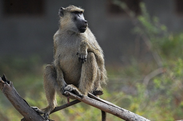 Tourists warned not to give alcohol to baboons in kenya