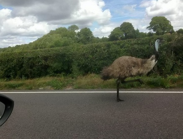 'Road Runner' on the loose on the A21