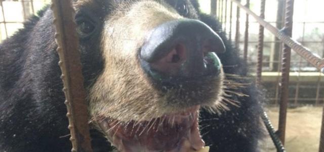 Bear has huge 3kg tongue removed