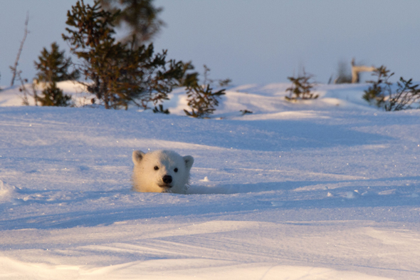 MANDATORY CREDIT: Christine Haines/Rex Features. IMAGES OUTSIDE OF PRINT NEWSPAPER SUBSCRIPTIONS. FEES APPLY FOR UNIQUE IPAD USE. Mandatory Credit: Photo by Christine Haines/REX (3685663e) The mother and the cub peeked out on day eight Polar bear mother and cub peer out from den,Wapusk National Park in Manitoba, Canada - Mar 2014 FULL COPY: http://www.rexfeatures.com/nanolink/oqvj  After wildlife photographer Christine Haines spent eight days watching a polar bear den, she thought she was out of luck in catching sight of them.  However her patience in the biting cold of the Wapusk National Park in Manitoba, Canada was rewarded when she managed to steal a few snaps of a first a cub, then its mother peeking out of their hole.  Christine explains: