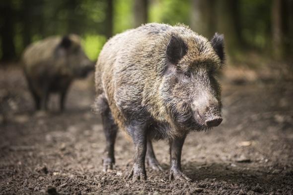 21-wild-boar-on-loose-in-wales