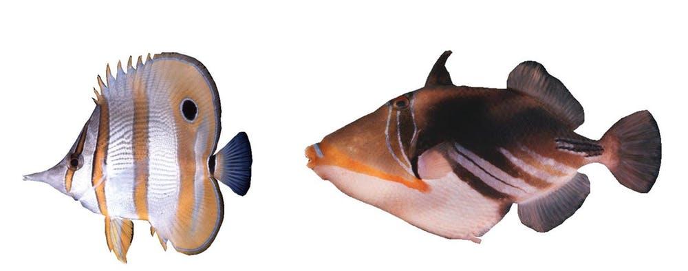 Muestra de la deslumbrante variedad de peces coralinos. A la izquierda el pez mariposa de raya de cobre,...