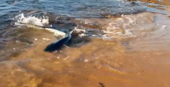 Shark swims right up to shore at Collaroy Beach in Sydney