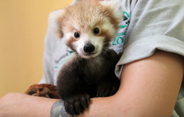Red panda baby loves her lookalike cuddly toy