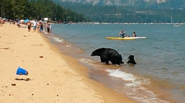 Tourists shocked as bear and two cubs frolic in sea at beach