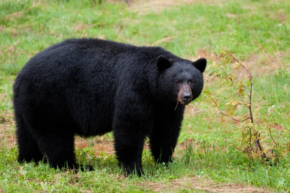 Hunter mauled by black bear in Wyoming