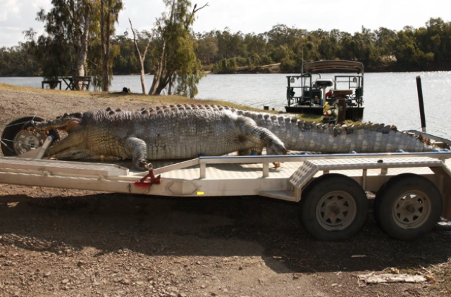 Crocodile killed in Australia the largest seen in 30 years