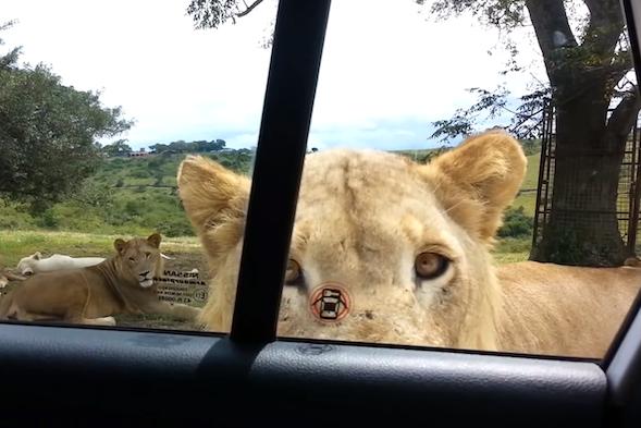 Lion near car